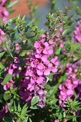 Statuesque Blue Angelonia (Angelonia angustifolia 'Statuesque Pink') at Roger's Gardens