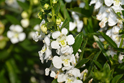 Statuesque White Angelonia (Angelonia angustifolia 'Statuesque White') at Roger's Gardens