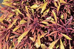 Under the Sea Sea Urchin Red Coleus (Solenostemon scutellarioides 'Sea Urchin Red') at Roger's Gardens