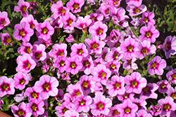 Aloha Tiki Soft Pink Calibrachoa (Calibrachoa 'Aloha Tiki Soft Pink') at Roger's Gardens