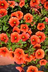 Aloha Kona Hot Orange Calibrachoa (Calibrachoa 'Aloha Kona Hot Orange') at Roger's Gardens