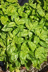 Presto Genovese Basil (Ocimum basilicum 'Presto Genovese') at Roger's Gardens