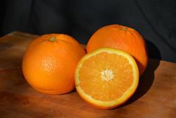 Navel Orange (Citrus sinensis 'Navel') at Roger's Gardens