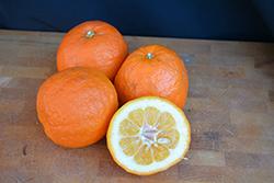 Consolei Bitter Orange (Citrus aurantium 'Consolei') at Roger's Gardens