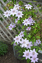 Nelly Moser Clematis (Clematis 'Nelly Moser') at Roger's Gardens