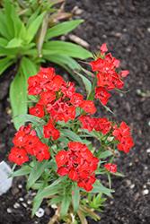 Scarlet Fever Sweet William (Dianthus barbatus 'Scarlet Fever') at Roger's Gardens
