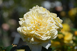 Moonlight Romantica Rose (Rosa 'Meikaquinz') at Roger's Gardens