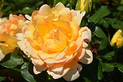 Gold Struck Rose (Rosa 'Gold Struck') at Roger's Gardens