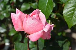 Sweet Mademoiselle Rose (Rosa 'MEInostair') at Roger's Gardens
