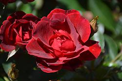 Brick House Rose (Rosa 'Meitraligh') at Roger's Gardens