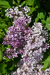 Miss Kim Sweet Treat Lilac (Syringa patula 'Greswt') at Roger's Gardens
