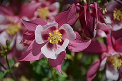 Origami Rose and White Columbine (Aquilegia 'Origami Rose and White') at Roger's Gardens