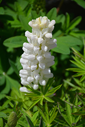 Gallery White Lupine (Lupinus 'Gallery White') at Roger's Gardens