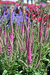 Red Fox Speedwell (Veronica spicata 'Red Fox') at Roger's Gardens