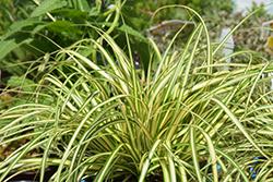 Gold Strike Japanese Sedge (Carex oshimensis 'Gold Strike') at Roger's Gardens