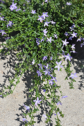 Blue Waterfall Serbian Bellflower (Campanula poscharskyana 'Blue Waterfall') at Roger's Gardens