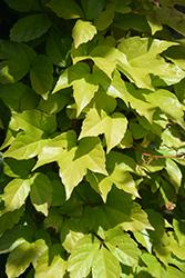 Fenway Park Boston Ivy (Parthenocissus tricuspidata 'Fenway Park') at Roger's Gardens