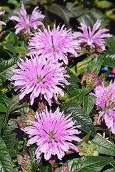 Cotton Candy Beebalm (Monarda 'Cotton Candy') at Roger's Gardens