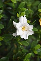 Buttons Gardenia (Gardenia jasminoides 'Buttons') at Roger's Gardens