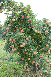 Gala Apple (Malus 'Gala') at Roger's Gardens