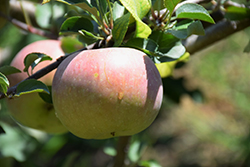 Fuji Apple (Malus 'Fuji') at Roger's Gardens
