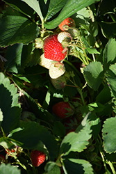 Sapphire Strawberry (Fragaria 'Sapphire') at Roger's Gardens