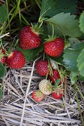 St-Laurent d'Orleans Strawberry (Fragaria 'St-Laurent d'Orleans') at Roger's Gardens