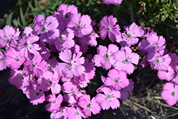 Rupert's Pink Clusterhead Pinks (Dianthus carthusianorum 'Rupert's Pink') at Roger's Gardens