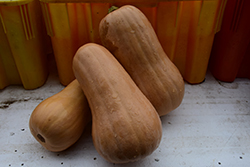 Butternut Squash (Cucurbita moschata 'Butternut') at Roger's Gardens