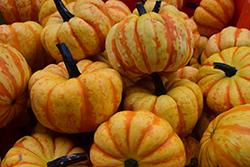 Sweet Lighting Pumpkin (Cucurbita pepo var. pepo 'Sweet Lightning') at Roger's Gardens