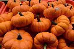 Munchkin Pumpkin (Cucurbita pepo var. pepo 'Munchkin') at Roger's Gardens