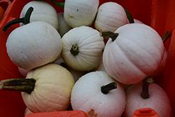 Blanco Pumpkin (Cucurbita maxima 'Bianco') at Roger's Gardens
