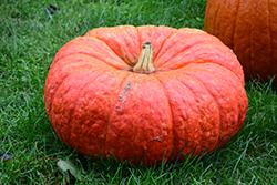 Rouge Vif d'Etampes Pumpkin (Cucurbita maxima 'Rouge Vif d'Etampes') at Roger's Gardens