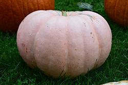 Long Island Cheese Pumpkin (Cucurbita moschata 'Long Island Cheese') at Roger's Gardens
