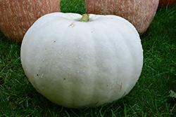 Casper Pumpkin (Cucurbita maxima 'Casper') at Roger's Gardens