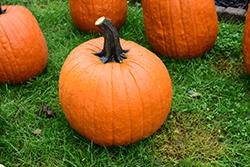 Expert Pumpkin (Cucurbita pepo 'Expert') at Roger's Gardens