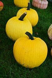 Mellow Yellow Pumpkin (Cucurbita pepo 'Mellow Yellow') at Roger's Gardens