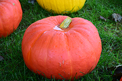 Big Moon Pumpkin (Cucurbita maxima 'Big Moon') at Roger's Gardens