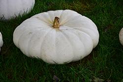 Flat White Boer Pumpkin (Cucurbita maxima 'Flat White Boer') at Roger's Gardens