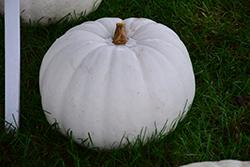 Lumina Pumpkin (Cucurbita maxima 'Lumina') at Roger's Gardens