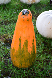 Long Pie Pumpkin (Cucurbita pepo 'Long Pie') at Roger's Gardens