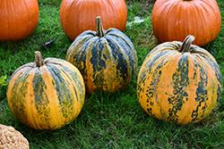 Kakai Pumpkin (Cucurbita pepo var. pepo 'Kakai') at Roger's Gardens