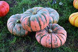 Musquee de Provence Pumpkin (Cucurbita moschata 'Musquee de Provence') at Roger's Gardens
