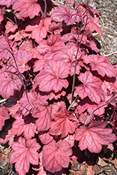 Georgia Plum Coral Bells (Heuchera 'Georgia Plum') at Roger's Gardens