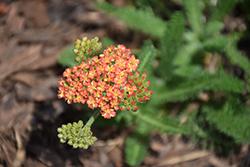 Salmon Beauty Yarrow (Achillea millefolium 'Salmon Beauty') at Roger's Gardens