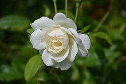 Iceberg Rose (Rosa 'Iceberg') at Roger's Gardens