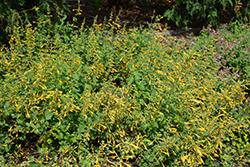 Arizona Sun Hyssop (Agastache 'Arizona Sun') at Roger's Gardens