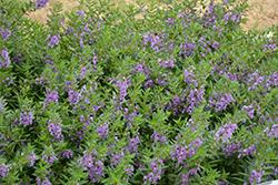 Angelface Steel Blue Angelonia (Angelonia angustifolia 'ANSTEEL') at Roger's Gardens
