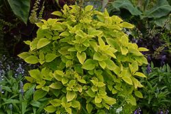 Premium Sun Lime Delight Coleus (Solenostemon scutellarioides 'Lime Delight') at Roger's Gardens