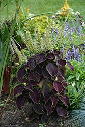 Premium Sun Dark Chocolate Coleus (Solenostemon scutellarioides 'Dark Chocolate') at Roger's Gardens